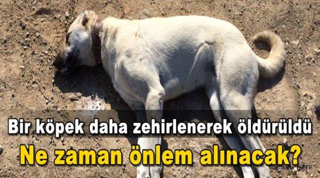 Bozcaada'da bir köpek zehirlenerek öldürüldü!
